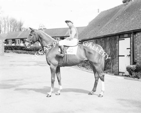 Racehorse Anglo with Jockey T Norman